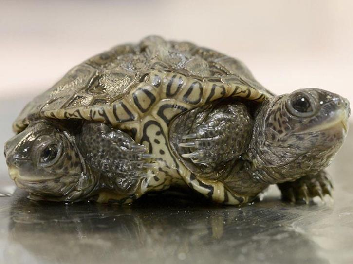 turtle with two heads and six legs