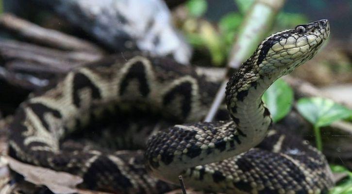 Brazilian scientists use snake venom to kill COVID-19