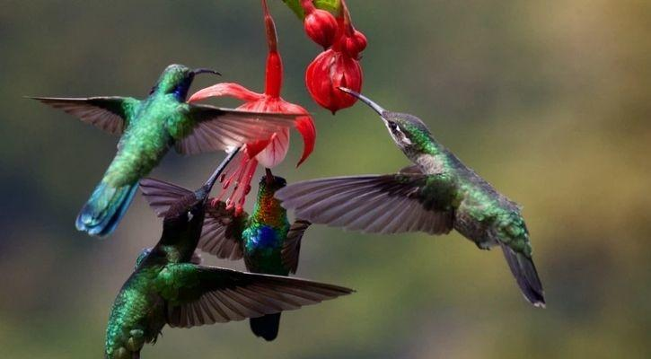 Hummingbirds are pictures feeding on flower nectar in this image