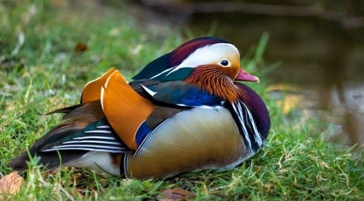 A flightless bird species