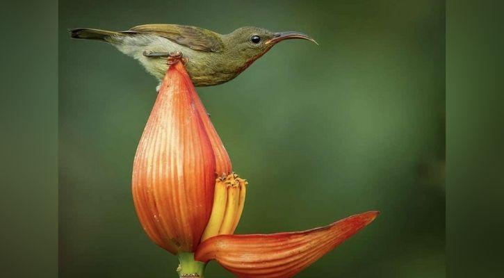 A songbird bathing in a banana flower petal   Instagram @rahulsinghclicks