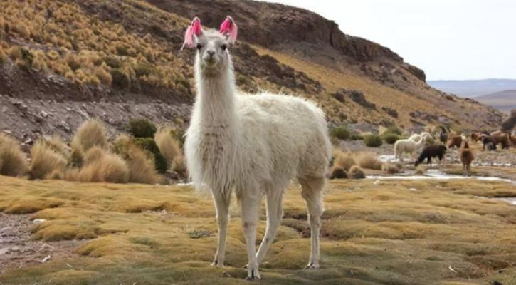 A llama is pictured here