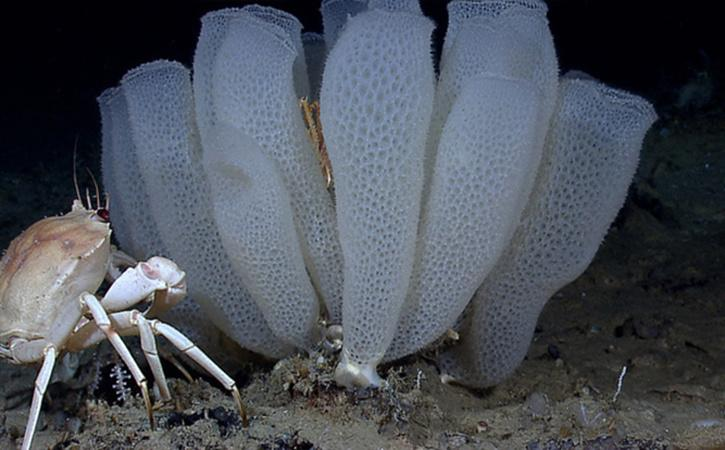 Antarctic sponge
