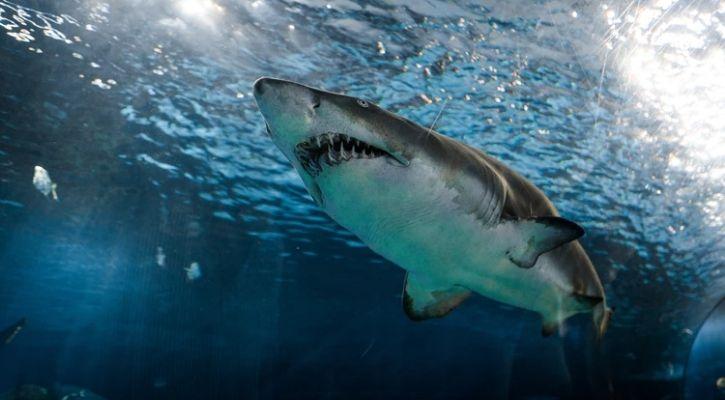 Over 30% Shark Species Now Face Extinction, IUCN Updated