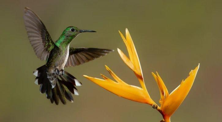 A hummingbird is pictured feeding on flower nectar in this image