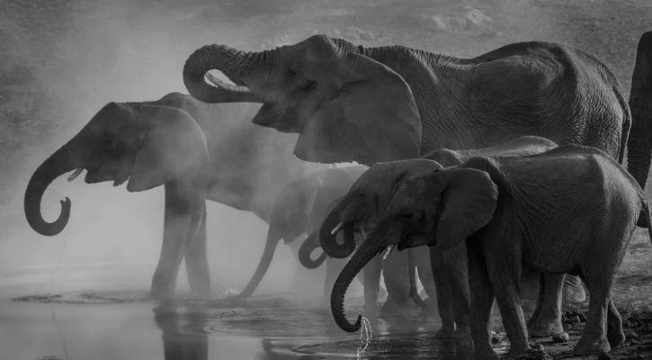Elephants are pictured in this image