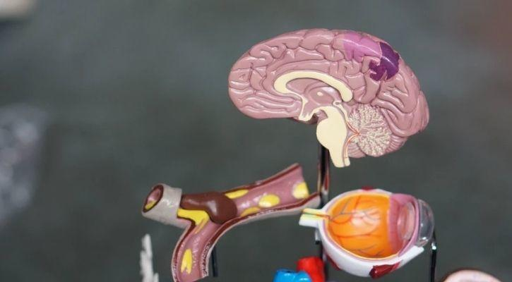 medical model of brain and human body