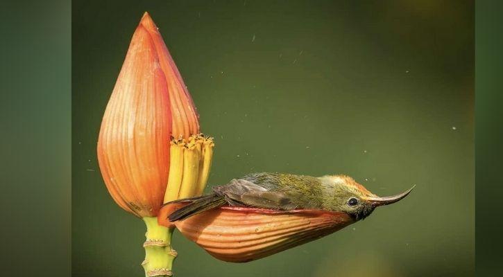 A songbird bathing in a banana flower petal |  Instagram @rahulsinghclicks