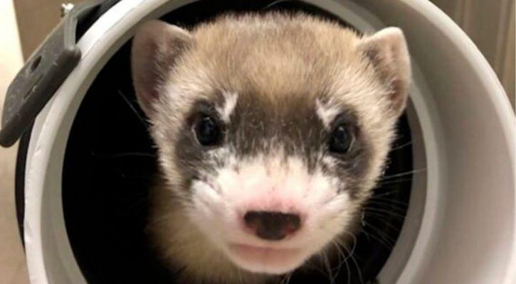 blackfooted ferret clone