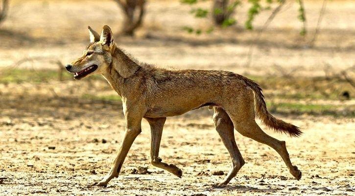 Indian Wolf endangered