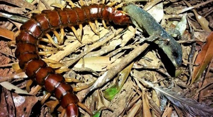 phillip island centipede