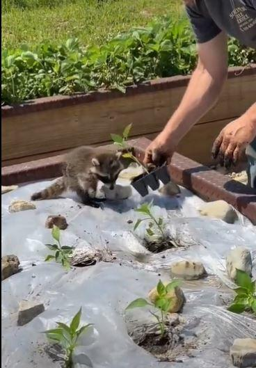 From delving mud to plant saplings to inspecting equipment, the racoon is seen trying to help his owner in every way possible.