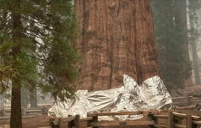 A General Sherman tree wrapped in foil as KNP Complex Fire rages in Three Rivers, California, in this September 17, 2021 handout picture.