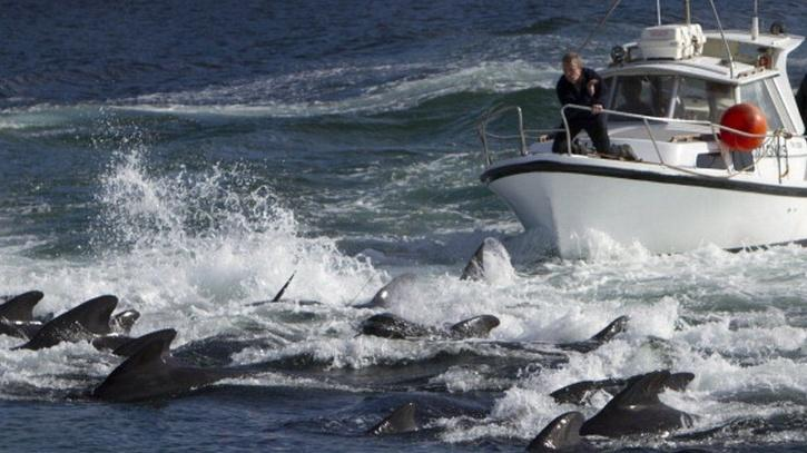 dolphins culling