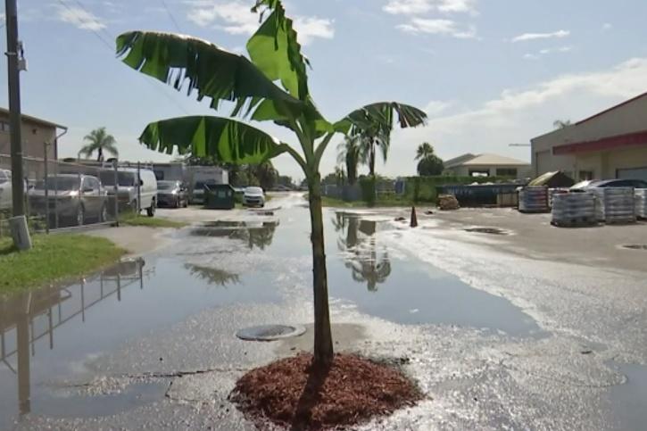 banana-tree on the road