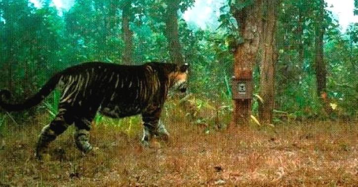 black-tiger-odisha