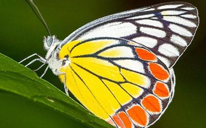 butterflies in india