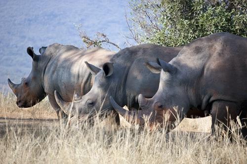 couple-of-rhinoceros