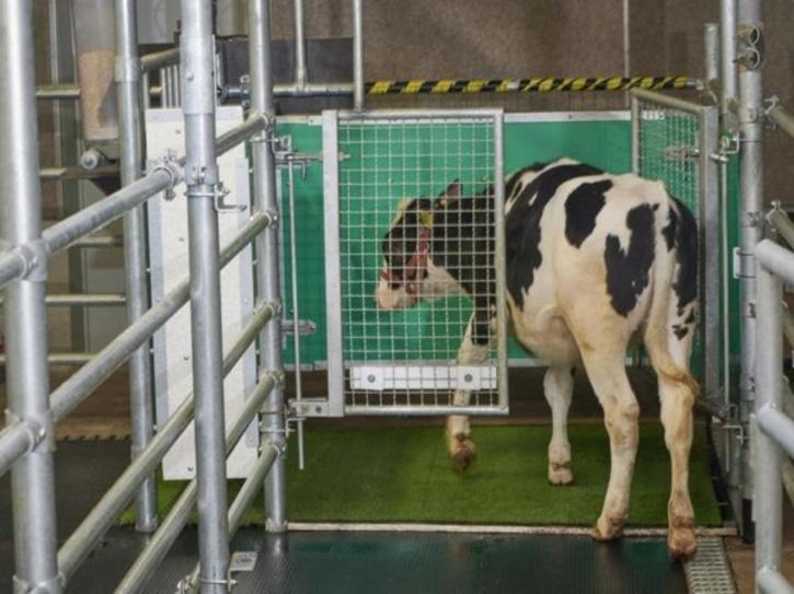 cows-potty-train