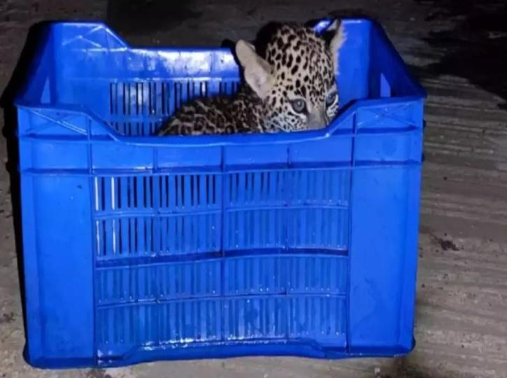 cub rescued