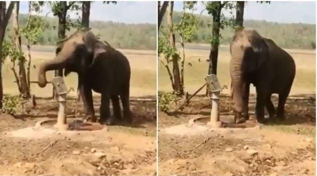 A video of an elephant drinking water from a handpump is going viral and for all the right reasons.