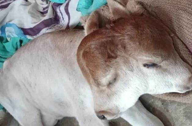 two headed calf in UP