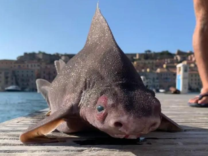shark with pig face