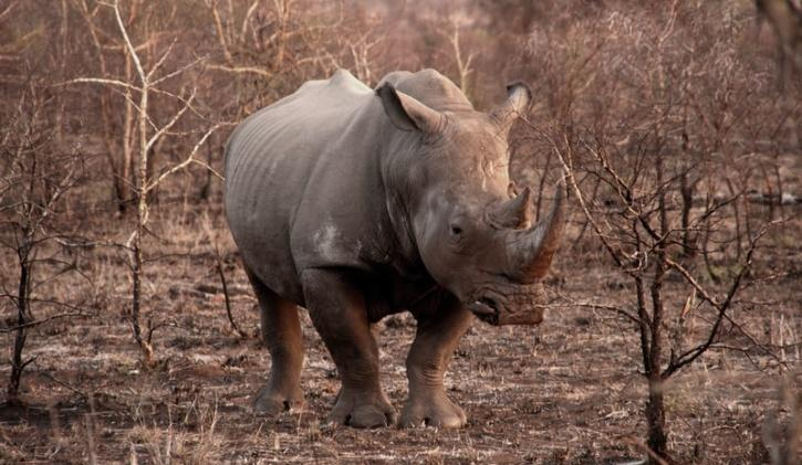 rhinoceros-with-his-horn