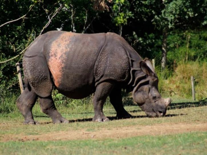 rhinoceros in forest