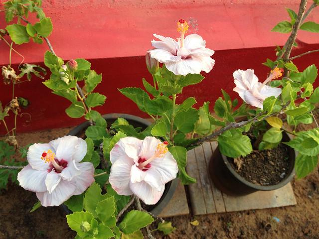 Mogra Flowers