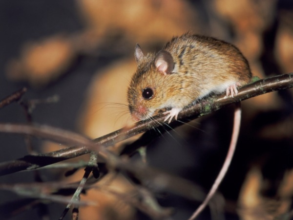 Stressed Mice Sire Anxious Daughters