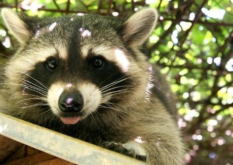 Psychic raccoon @ Olympics