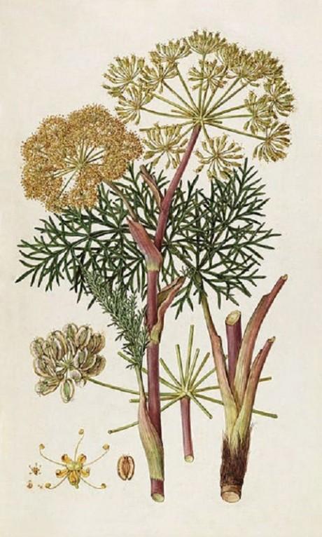 Thapsia garganica plant