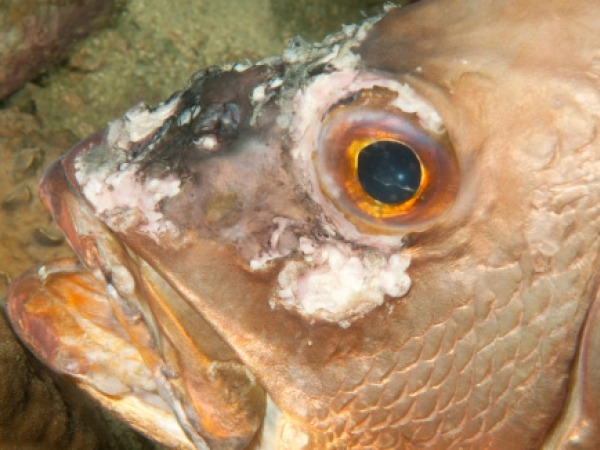 Fish With High Levels Of Radioactivity Found In Japan