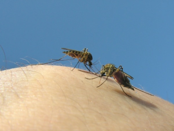Two Mosquito Species Responsible For Dengue Detected