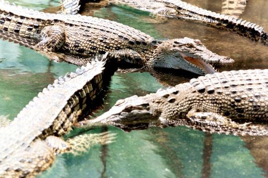 Fashion Houses Buy Australian Crocodile Farms