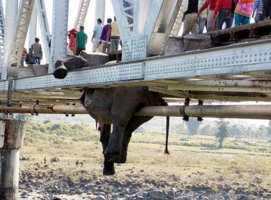 Hanging carcass of an elephant on a railway bridge in Khunia range in Jalpaiguri