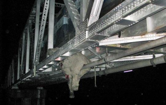 Elephant carcass hanging from bridge