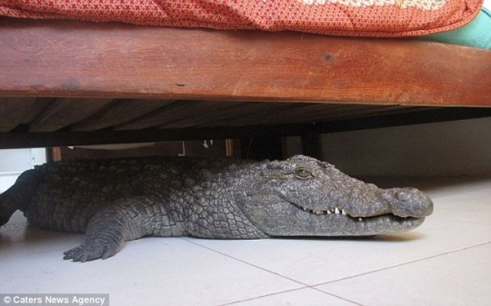 Man Finds Crocodile Under Bed