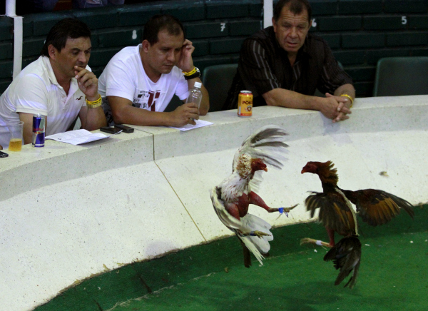 Cock Fighting.