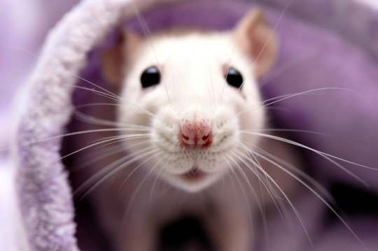 Rats to Grow As Big As Sheep in Future?