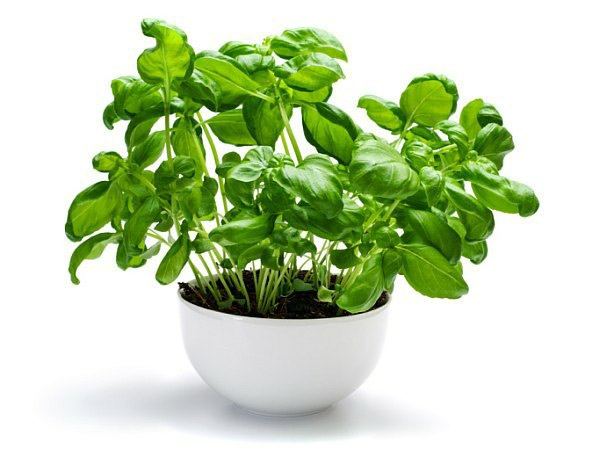 Health Benefits Of Tulsi/Basil