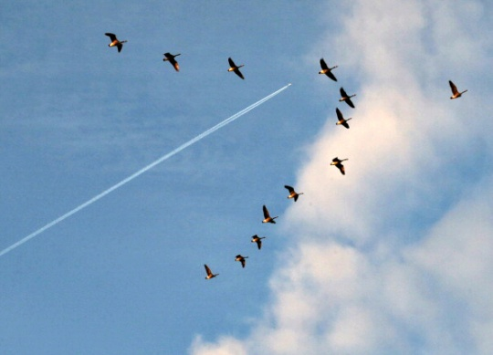 Decoded: Why Birds Form a V to Fly