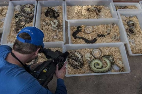 Hundreds of Living, Dead Pythons Found In US Home