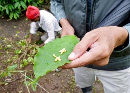 A coffee planter shows white stem borer beetles