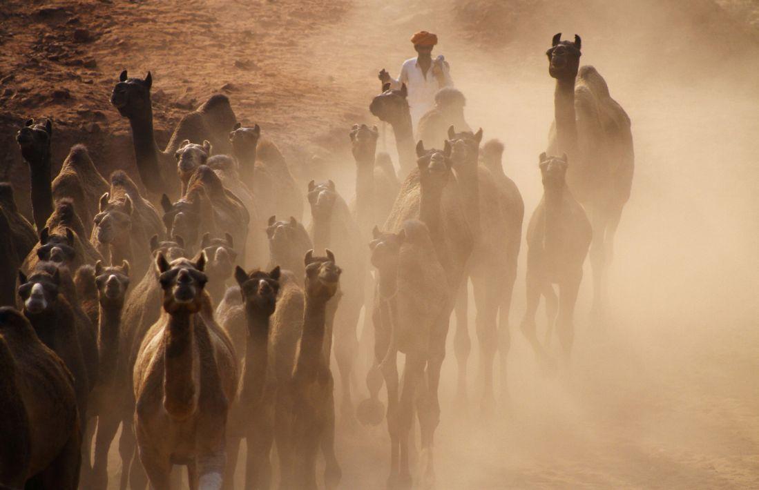 camel in cattle fair in Pushkar
