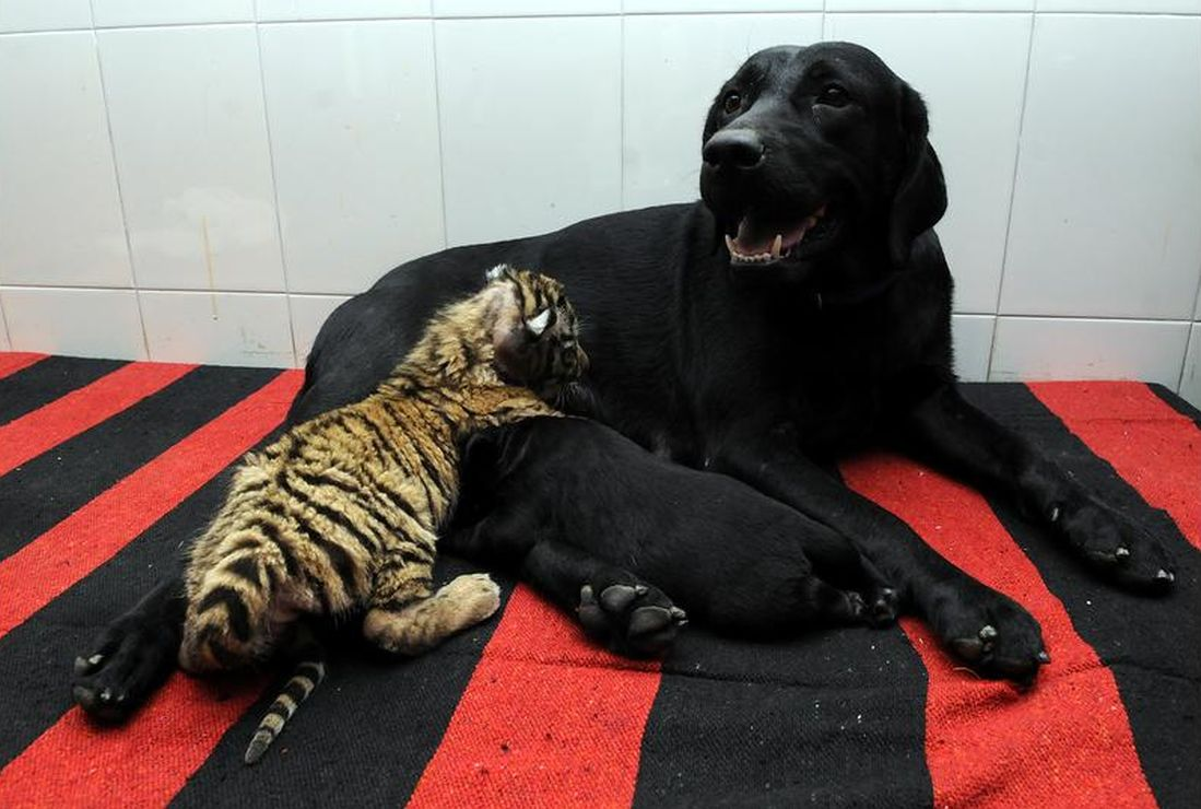 A tiger cub trying to feed from bitch