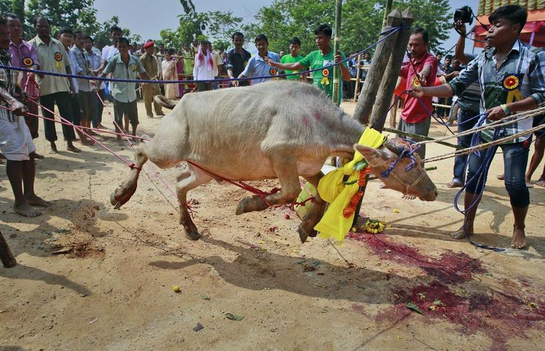A buffalo struggles as people prepare to sacrifice it at a temple