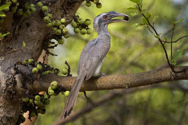 Hornbill in Nagpur