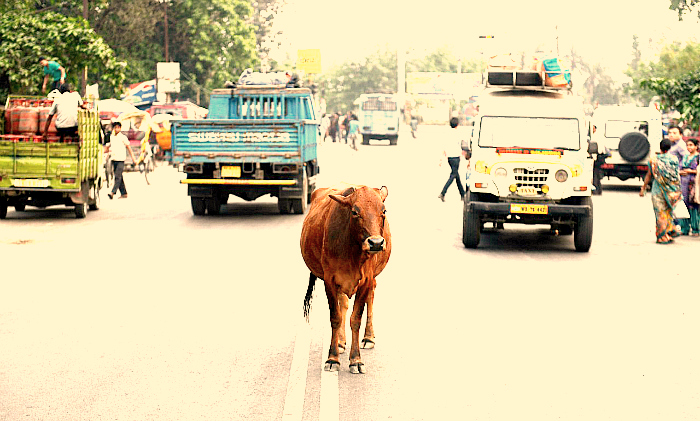 cow indian road